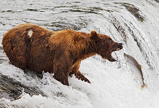 Bear fishing for salmon